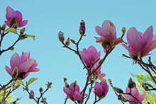 Low Angle View Of The Bright Pink And Purple White  Blossoms Of A Bare Magnolia Tulip Tree Under Blue Sky In Early Spring