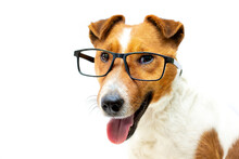 Pretty Clever Fox Terrier Dog Stylish Reading Glasses With Black Frames. White Background