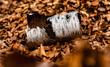 Birkenrinde im Herbstlaub