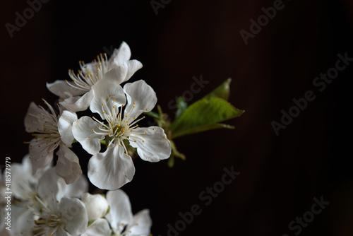 Fototapeta Spring background with a branch of cherry blossoms, sakura on a black background. The beauty of spring nature. obraz na płótnie
