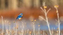 Beautiful Perched Bluebird In Virginia
