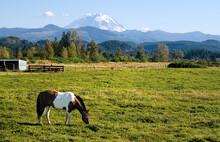 Paint Horse And Mount Rainier