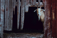 Goat In Barn Looking Out