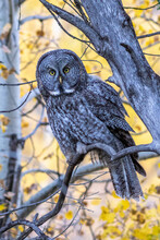 Great Gray Owl Perched In The Teton Aspens