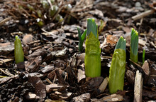 Sprouting Green Shoots Of Giant Ornamental Garlic Blooming In Spiked Purple Flowers In A Flowerbed Of Mulched Bark In The Spring Sun