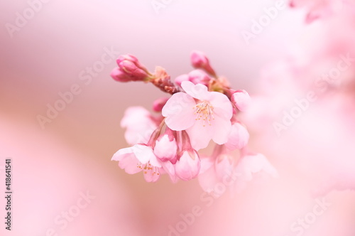 Canvas pink cherry blossoms