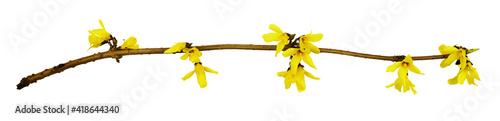 Fotografija Spring twig of forsythia shrub with yellow flowers