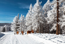 A Herd Of Red Cows Walks Along A Snow-covered Road On A Frost-covered Larch Taiga On A Clear Frosty Day. Altai Republic. Russia