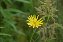 Flowers Ofmeadow Salsify, Tragopogon Pratensis,