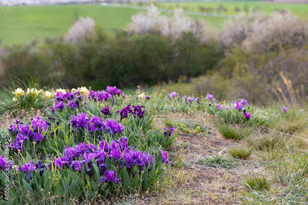 Fototapeta Dwarf iris in Pusty kopec u Konic near Znojmo, Southern Moravia, Czech Republic - obraz na płótnie