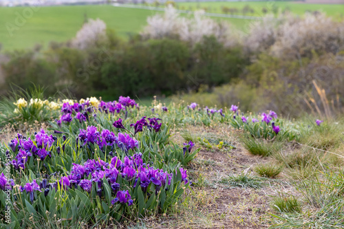 Fototapeta Dwarf iris in Pusty kopec u Konic near Znojmo, Southern Moravia, Czech Republic obraz na płótnie
