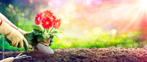 Fototapeta Planting A Red Daisy In Garden - Gardening Concept obraz