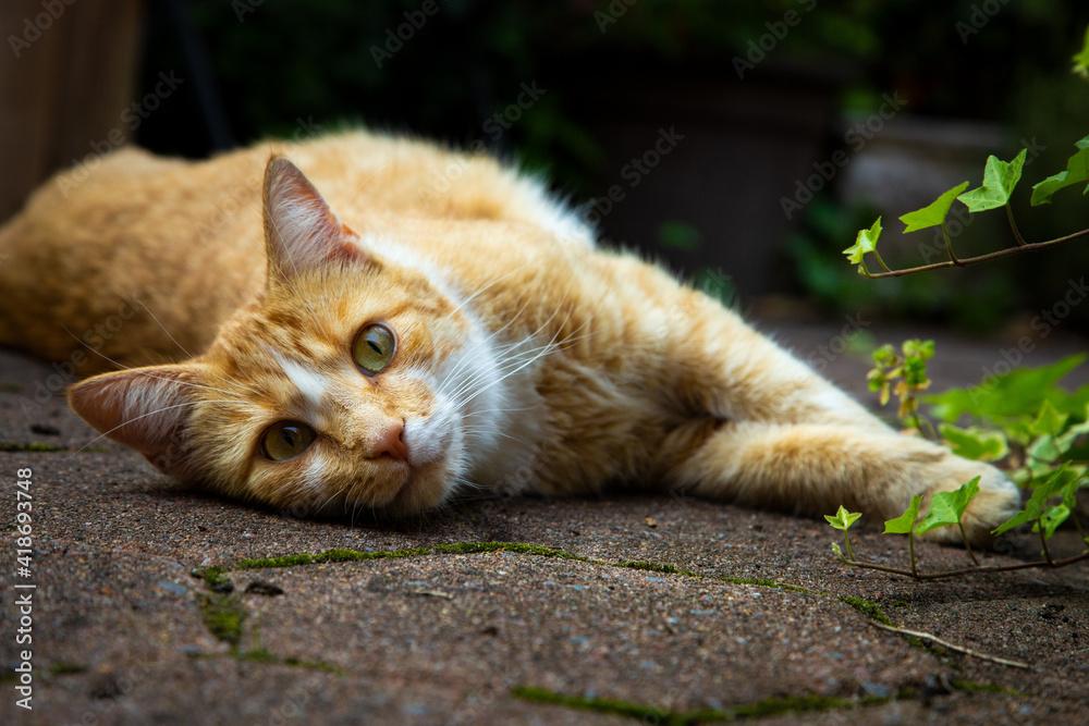 Fototapeta rote Katze