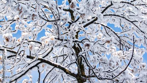 Obraz korona drzewa pokryta śniegiem - fototapety do salonu