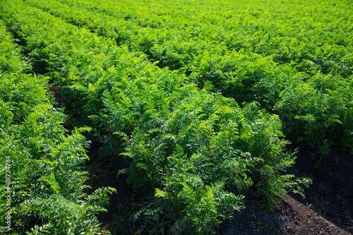 The field where carrots grow Fototapet