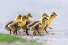 Group Of Cute Little Domestic Goslings Are Walking Along The Road