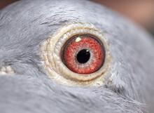 Unique, Colorful, Wild Pigeon Eye. Macro Picture