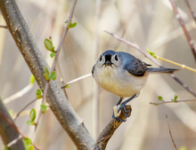 A Tufted Titmouse Bird Looks Into Camera As It Holds A Partially Eaten Seed In Its Feet