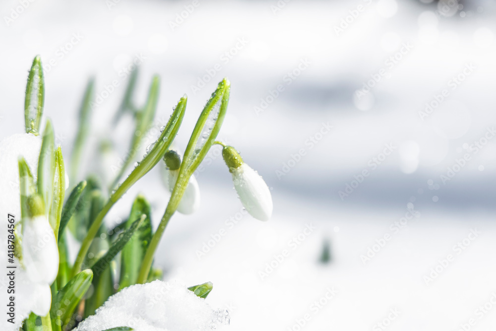 Fototapeta Sunrise sunset light on the white tender snowdrops covered snow in the spring forest. Beautiful spring background with copy space.