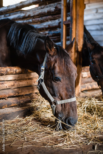 Fotografija The horse's head is in the bridle in the stable, the horse is eating hay