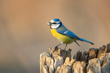 Blue Tit Cyanistes Caeruleus With Peanuts In Its Beak. Beautiful Background