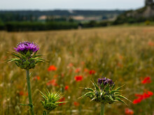Prickly Thistle On The Background Of Rye Filed With Red Poppies. Close Up