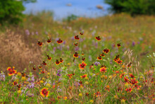 Central Texas Wild Flowers Firewheel And  Mexican Hat  In A Field With A Lake Behind Them.