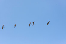 Swarm Of Pelican With Open Wings In Flight With Sky In The Background, Osa Peninsula, Costa Rica