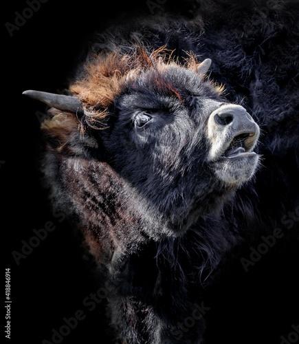Fényképezés aurochs isolated on black background