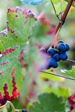 Dunkle Weintrauben Mit Herbstlich Verfärbten Weinblatt