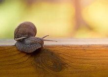 Slow Grape Snail Crawl On The Plank In The Garden
