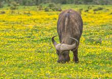 Lone Buffalo In A Meadow Of Flowers