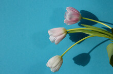 Close-up Of Three Pale Pink Tulips In Natural Sunlight On A Blue Background For A Banner