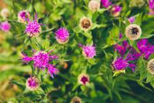 Des Chardons Fleuris. Des Fleurs Violettes. Des Fleurs Mauves
