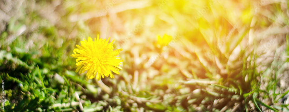 Fototapeta Yellow dandelion in the sunbeams. Dandelion bloom close up