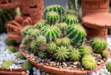 A Group Of Green Succulents Cactus (Echinopsis Calochlora) With Round Shapes In A Flowerpot.
