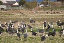 Izumi City, The Destination Of Winter Cranes
