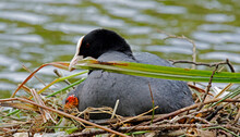 Female Coot On The Nest With Her Chicks