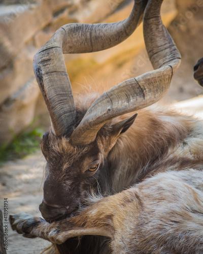 Closeup of an ibex - wild mountain goat grazing with the herd Fototapet