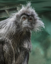 Portrait Of A Funny Silvery Lutung - An Old World Monkey