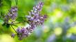 blühender lila flieder vor unscharfem hintergrund