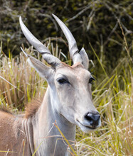 Portrait Of An Antelope In The Bush