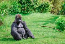 Lowland Gorilla Silverback Sitting Alone In The Grass
