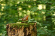 The Robin bird (Erithacus rubecula) stands on a tree trunk in the forest.