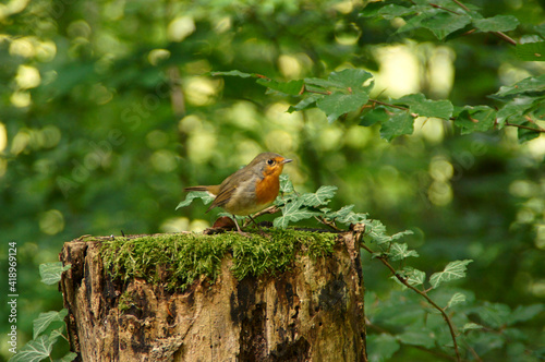 Fototapeta The Robin bird (Erithacus rubecula) stands on a tree trunk in the forest. obraz