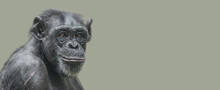 Banner With A Portrait Of A Happy Adult Chimpanzee, Smiling And Thinking, Closeup, Details With Copy Space And Solid Background. Concept Biodiversity And Wildlife Conservation.