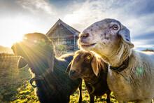 Sheep At A Farm