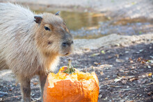 Capybara Eating