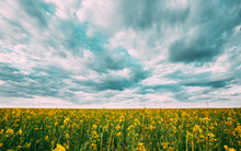Close Up Of Blossom Of Canola Yellow Flowers Under Cloudy Sky. Rape Plant, Rapeseed, Oilseed Field Meadow Grass