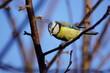 Sikora ,barwny ptak ,sikora bogatka